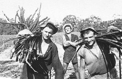 P17681. Peter, John Kolasinac, and Tony - Yugoslav cane cutters carrying cut cane, early 1960s